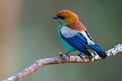 Tangara preciosa, Chestnut-backed Tanager.jpg