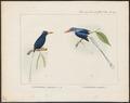 Tanysiptera rosenbergii - 1875 - Print - Iconographia Zoologica - Special Collections University of Amsterdam - UBA01 IZ16800041.tif