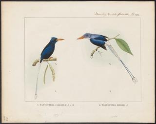 Numfor paradise kingfisher species of bird