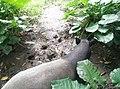 Tapir in Zoo Negara Malaysia (7).jpg