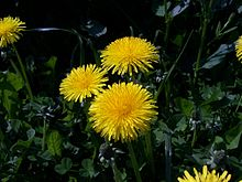 Taraxacum officinale flower 2005-05-01.jpg