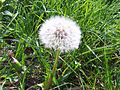 Taraxacum officinale withered 2005-05-01.jpg
