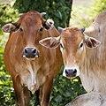 Taun-Gusi-2 Sabah band-of-cows-01.jpg
