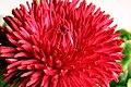 Tausendschönchen Blüte 2008-3-3.JPG