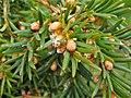 Taxus baccata. Texu (caña machu).jpg