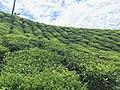 Tea plantation in Valparai.jpg