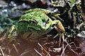 Teichfrosch Pelophylax esculentus 7784.jpg