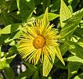 Telekia speciosa in Jardin des 5 sens (4).jpg