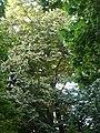 Tell argentat del passeig de la Bonanova P1510532.jpg