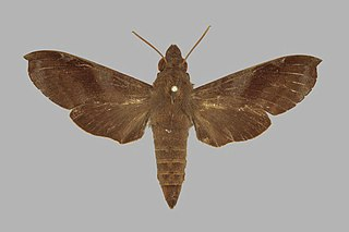 <i>Temnora leighi</i> Species of moth