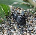 Tenebrionidae. Tentyria sp. - Flickr - gailhampshire.jpg