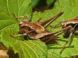 Tettigoniidae - Pholidoptera griseoaptera.JPG
