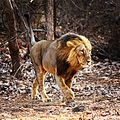 The Lion Of Gir Forest.jpg