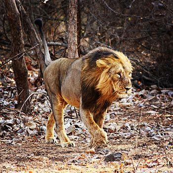 The Lion Of Gir Forest.jpg