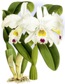 The Orchid Album-01-0023-0006-Cattleya morganae-crop.png