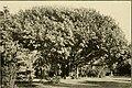 The ornamental trees of Hawaii (1917) (14785824833).jpg
