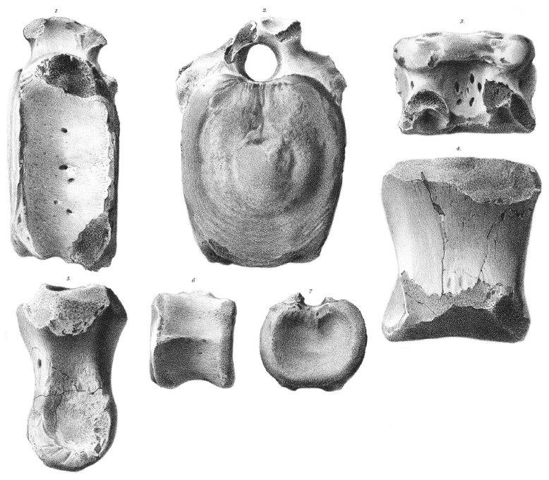 Thespesius occidentalis