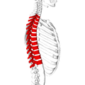 Thoracic vertebrae lateral5.png