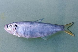 <i>Thryssa mystax</i> species of fish