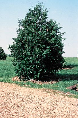 Thuja occidentalis tree.jpg