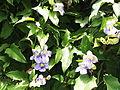 Thunbergia grandiflora-2-bsi-yercaud-salem-India.JPG