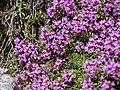 Thymus linearis (7814683760).jpg
