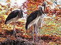 Tierpark Cottbus Sattelstoerche.JPG