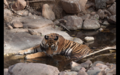 Tiger in Ranthambore 8.png