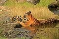 Tiger kanha NP.jpg