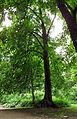 Tilia × euchlora Syrets1.JPG