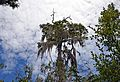 Tillandsia usneoides Big Cypress National Preserve.jpg