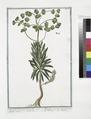 Tithymalus Sylvaticus, lunato flore C.B.P. - Tithymalus Sylvaticus, toto anno folia retinens - Titimalo - Titimale (NYPL b14444147-1124951).tiff