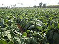 Tobacco Cultivation Jaffna-1.jpg