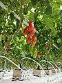 Tomato00.jpg