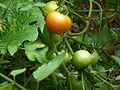 Tomato plant from Kerala 4990.JPG