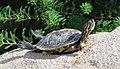 Tortoise in sunbath.jpg