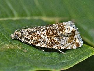 <i>Orthotaenia</i> Genus of tortrix moths