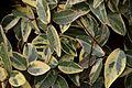 Trachelospermum jasminoides in Tropengewächshäuser des Botanischen Gartens 01.jpg