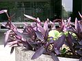 Tradescantia pallida Purpurea1.jpg