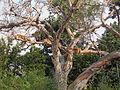 Tree lions uganda.JPG
