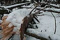 Trees damaged by heavy snow.jpg