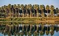 Trees in Karbala.jpg