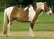 Tri-coloured cob 2.jpg