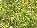 Trifolium aureum.jpg