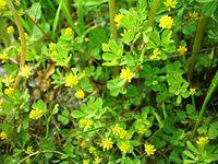 Trifolium dubium001