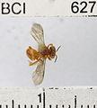Trigona muzoensis.JPG