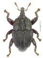 Trigonopterus garradungensis Riedel, holotype.tif