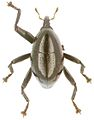 Trigonopterus pseudogranum holotype - ZooKeys-280-001-g064.jpg