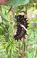 Troides minos - Southern Birdwing Caterpillar at Thattekkadu (1).jpg