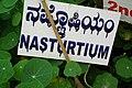 Tropaeolum aka Nasturtium at lalbagh7295.JPG